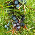 Rettet den Gin! Pilzerkrankung bedroht Wacholderbestand in Schottland